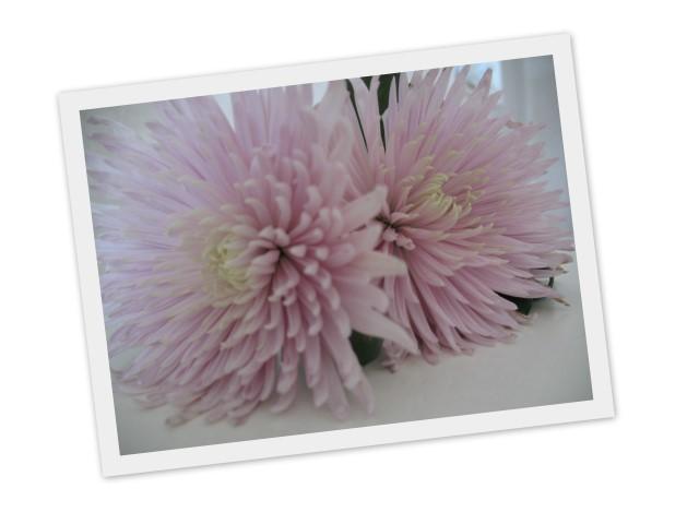 blomma rosa